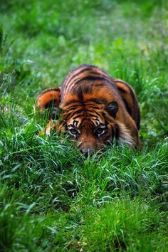 Tiger in the grass.