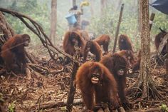 A product many have not even heard of is causing an apocalypse of sorts for the world's orangutans. In Indonesia and Malaysia, rainforests are being slashed and burned at an alarming rate to make way for a third world cash crop: palm oil. Palm oil …