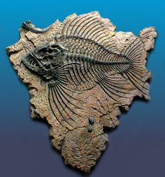 Beautiful Fossil Fish