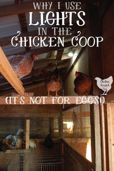 I will always use lights in the chicken coop and it has nothing to do with eggs! Northern winters are cold, dark, and miserable. Find out why and how I use lights in the coop for healthier birds all winter long. Chicken Coop Designs, Diy Chicken Coop Plans, Portable Chicken Coop, Best Chicken Coop, Backyard Chicken Coops, Building A Chicken Coop, Chicken Runs, Backyard Poultry, Backyard Farming