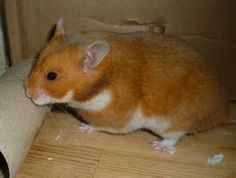 Rust Syrian Hamster | Gallery of Hamster Colors - Dixie Dust Hamsters