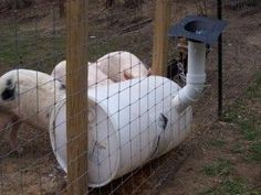 DIY Pig Feeder | Homesteading