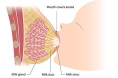 How Breast Milk is Produced