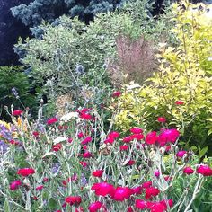Texture and colour play in the front hot bed. Lychnis provides the hot pink and weigelia the gold.