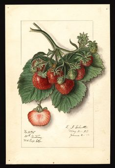 """Strawberries (Fragaria). 1911.Illustration by Ellen Isham Schutt. """"U.S. Department of Agriculture Pomological Watercolor Collection. Rare and Special Collections, National Agricultural Library, Beltsville, MD 20705"""""""