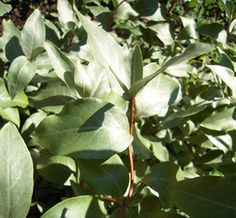Hopeapensas - Elaeagnus communata