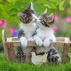kitten cats, cats and kittens, persian cat kitten, cute baby kittens, Dreamz Coons Kitten Cute Baby Cats, Cute Funny Animals, Cute Baby Animals, Animals And Pets, Funny Cats, Sleepy Animals, Wild Animals, Kittens And Puppies, Cute Cats And Kittens