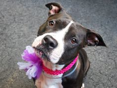 -BORDEAUX - A1041148 - - Manhattan TO BE DESTROYED – 07/08/15 A volunteer writes: I was so into snuggling with Bordeaux that I forgot to get some nice pictures of her! She's an awesome dog; quiet in her kennel all day, waiting her turn to go out. She sat, paws crossed, watching all the activity unfold in front of her… waiting. Happily wagging her tail when I unlatched her door she went potty as soon as we were outside. She's such a relaxing walk I can t