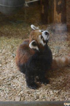 Red panda at Chausu Yama Zoo in Nagano prefecture, Japan
