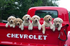 Labs in a Chevy