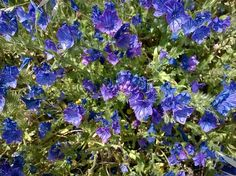 Another beautiful blue Lobelia -Anabel Blue Hope. It's supposed to be more heat tolerant. Southern Greens, Sun Plants, Everything Is Possible, Growing Flowers, Lawn And Garden, Purple Flowers, All The Colors, Garden Landscaping, Perennials