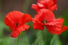 Red poppies | Flickr