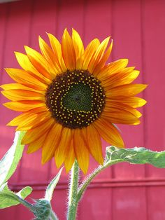 Sunflowers / shades of pink and yellow / color combos