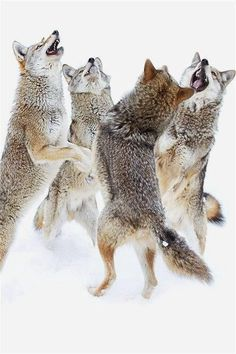 Canis Albus wolf pack in winter Beautiful Creatures, Animals Beautiful, Tier Wolf, Animals And Pets, Cute Animals, Party Animals, Wolf Love, Beautiful Wolves, Wolf Spirit