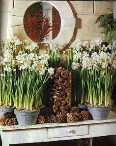 common ground : Paperwhites in the Christmas Entry Daffodil Bulbs, Daffodils, Christmas Love, Christmas Garden, Christmas Bulbs, Merry Christmas, Christmas Decorations, Holiday Decor, Flower Boxes