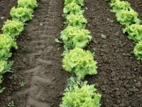 Learn how to transplant your vegetable plant seedlings outdoors with these instructions from The Old Farmer's Almanac. Includes tips on preparing soil.