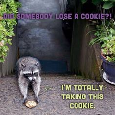 Raccoon takes cookie. Funny.