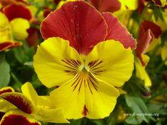 pansy flower   Big pansy flower, Flower photos