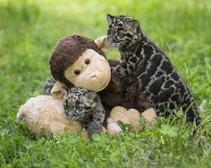 Delinquent Clouded Leopard cubs wrestle  stuffed monkey to the ground and check his pockets for spare change.