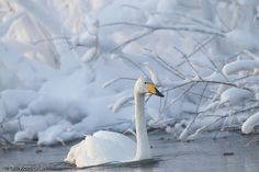 Laulujoutsen talvisessa jokimaisemassa Beautiful Birds, Animals Beautiful, Adorable Pictures, Winter Beauty, Swan Lake, Bats, Winter Wonderland, Cool Photos, Scenery