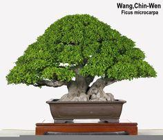 taiwan bonsai. #bonsai