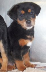 Floyd County Animal Shelter  BUNCH is an adoptable Rottweiler Dog in Prestonsburg, KY. BUNCH and his four littermates arrived at the shelter on 2/13/12 and apparently their mom had TWO boyfriends - one a Lab an the other a Rottwe...