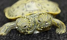 Meet Thelma [right] and Louise [left], a two-headed turtle born last month at San Antonio Zoo. So far the reptile is healthy and both heads are eating. The turtle has become one of the zoo's most popular attraction - and even has its own Facebook page, in which Thelma and Louise share turtle news with their fans.