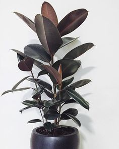 Taking this huge burgundy beauty to a client today for their office. Just one of things we do. Consults & office fitouts. #officeplants #officeplantsmakeyouhappy #plants #ficus #ficusburgundy #rubberplant #plantstagram #indoorgreen #indoorgreenery #indoorgarden #indoorplant #plantsrule #abmplantlady