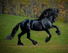 The Friesian horse embodies powerful agility and elegance. If you've ever seen a muscular, yet graceful, black horse in a film or TV program, there's a good chance it was a Friesian. Most Beautiful Horses, Pretty Horses, Horse Love, Animals Beautiful, Black Horses, Dark Horse, Wild Horses, Pony Breeds, Horse Breeds
