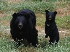 Asiatic Black Bear - This species of black bear is hunted for its body parts (especially the gall bladder), which are used in Asian cuisine and medicines.