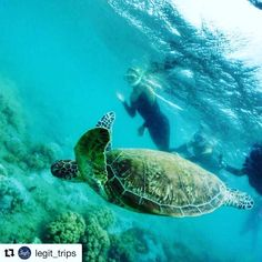 More spots opened on our Galapagos trip! Join us in April 08-13 to swim with tons of beautiful turtles and so much other wildlife!. . #Repost @legit_trips with @get_repost #travelblogger #wanderlust #placestogo #easternholidays #travel #travelphotography #marineturtle #snorkelingwithseaturtles #snorkelingwithsharks #galapagosmarineturtle #buketlist #galapagos #happytuesday - facebook.com/rlwonderland