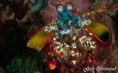 Mantis Shrimp taken on a dive in the Philippines  #underwaterphotography #underwater #underwaterworld #underwaterphoto #underwaterpics #underwaterpictures #underwaterpic #natureaddictsun #naturelovers #nature #natureaddict #uwphotography #uwphoto #loves_underwater #lovediving #aquagallery #scuba #scubadiving #coral #greatbarrierreef #ocean #coralreef #diving #water #watercolor #uw #naturephotography #sea #shrimp by garybrennand http://ift.tt/1UokkV2