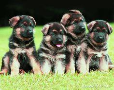 German Shepherd puppies: Nala, Bailey, Mike and Brutus