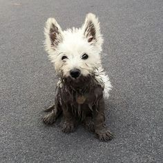 Dirty puppy! #westie