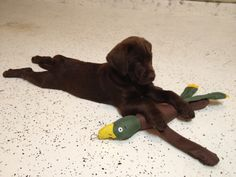 Chocolate Lab with his Duck