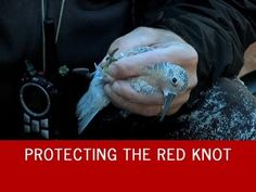 Defenders of Wildlife protecting the endangered red knot shorebird