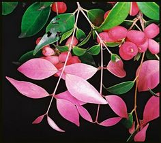 Syzygium francisii - Native List - Tree - Small leaf lillypilly, Cherry satin ash, Riberry, Small-leaved watergum, Creek cherry or Water myrtle
