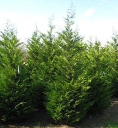 Cupressocyparis leylandii:  Deer Resistant Leyland Cypress is a fast-growing evergreen conifer with a dense, broad-columnar to narrow-pyramidal habit. Features flattened sprays of gray-green foliage on slender upright branches and dark brown fruiting cones. Scaly, reddish-brown bark.