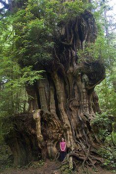 Un gran cedro (con pequeña niña) del Olympic National Park (by woodleywonderworks)