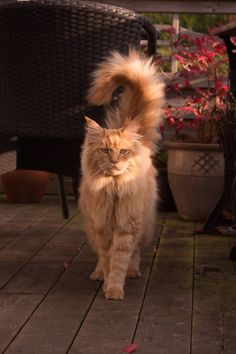 rokuthecat: Simba by Annikaej A beautiful maine coon cat Animal,Cat,Maine Coon