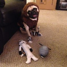 Weezer the pug dressed like Chewbacca