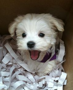 Little Maltese up to no good!