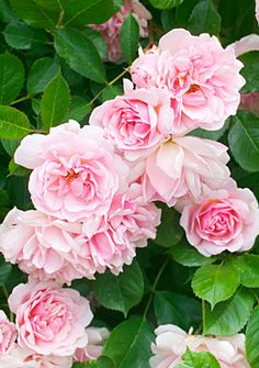 Felicia - Hybrid Musk Rose - Creamy pink, fading to white. Strong, sweet fragrance. Semi-double (9-16 petals), in large clusters, flat, rosette bloom form. Drought tolerant in a pot. Bushy ©photo by Mark Bolton, GAP Photos