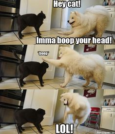 My Samoyed would do this ... we had a grey tabby cat, but he had so much fun, so intelligent, and sparkly eyes.