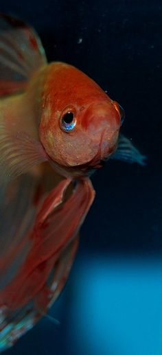 Siamese Fighting Fish - dat face