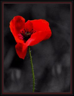 Poppy - Rememberance | Flickr - Photo Sharing!