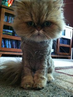 Teacup Persian Fiona with a haircut!