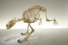 The skeleton of the last breeding native male Pyrenean Brown Bear. The 22 bears known to be living in the Pyrenees are either female or introduced from Slovakia. Toulouse Natural History Museum thankssuziechaney for the submission