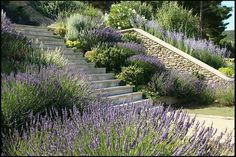 Terraced Garden in Provence is part of Terrace garden Trees - Completed stone steps and side walls with lavender planting Designed by Alex DingwallMain Click below to return to Alex DingwallMain's website www alexdingwallmain com Dry Garden, Garden Trees, Terrace Garden, Garden Paths, Provence Garden, Provence Rose, Garden Stairs, Hillside Landscaping, Landscaping Ideas