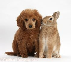 Pets: Apricot miniature Poodle pup, Ruebin, 8 weeks old, with Netherland dwarf-cross rabbit, Peter.
